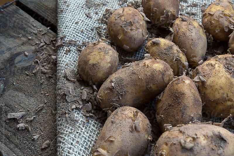 Potatoes freshly harvested lying on hessian by Paul Phillips for Stocksy United
