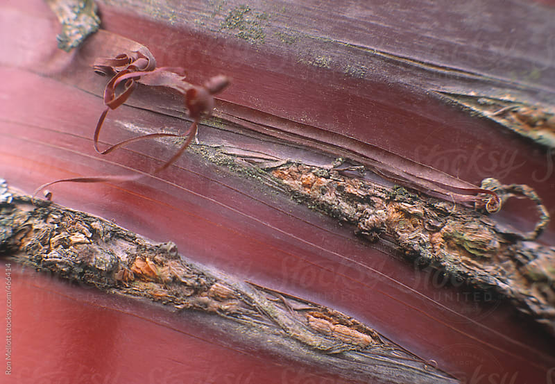 closeup macro of the bands of smooth and rough bark on a sweet cherry tree (prunus avium) by Ron Mellott for Stocksy United