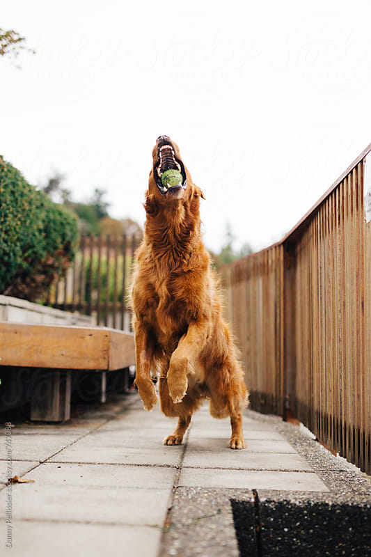 Golden Retriever Jumping for Tennis Ball by Danny Pellissier for Stocksy United