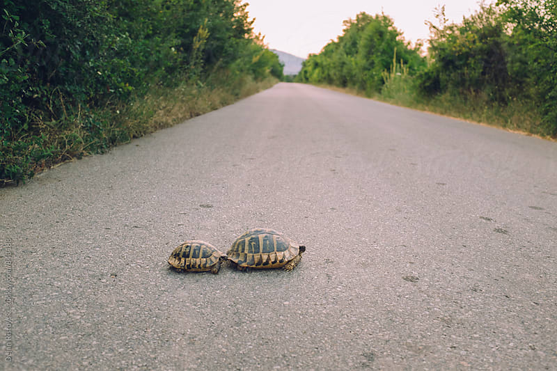 Turtles crossing a road. by Dejan Ristovski for Stocksy United