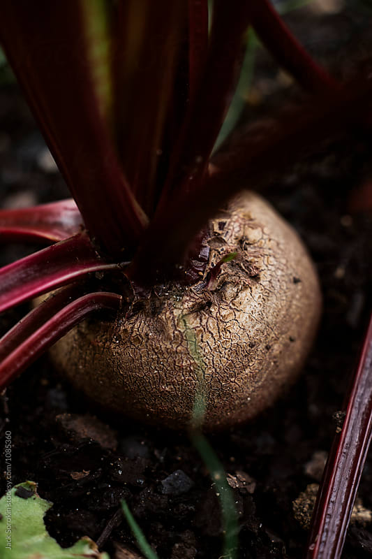 Beets growing in garden by Jack Sorokin for Stocksy United