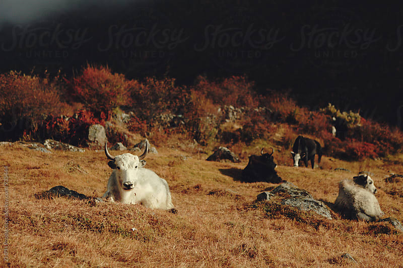 Yaks pasture by ZHPH Production for Stocksy United