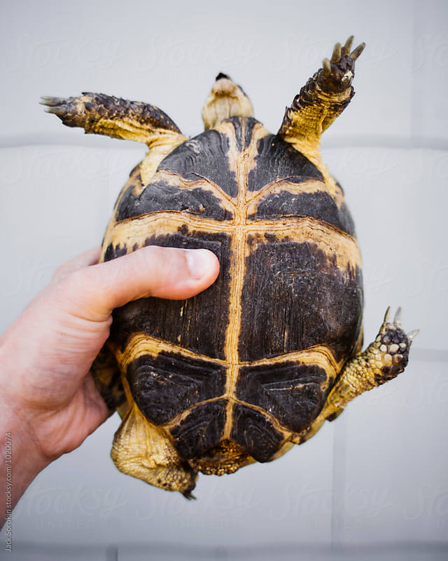 Person Holding A Tortoise by Jack Sorokin for Stocksy United