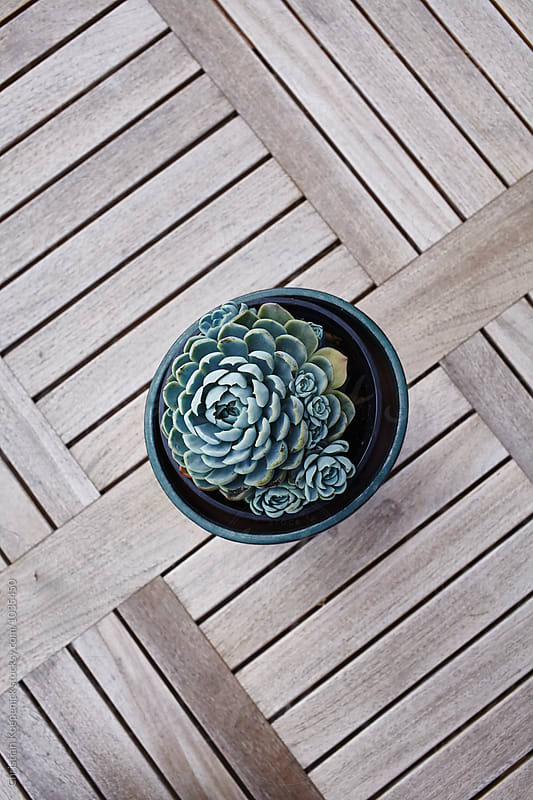 succulent by Christian Koepenick for Stocksy United