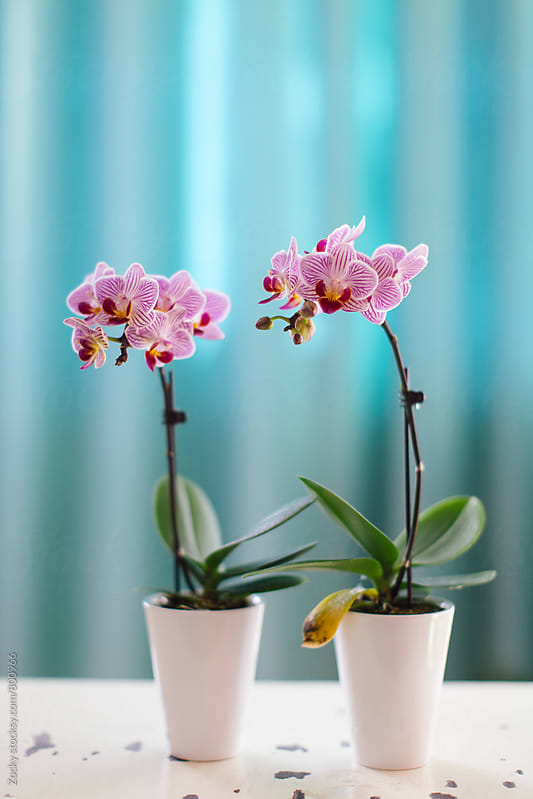 Orchid flowers on white table by Zocky for Stocksy United