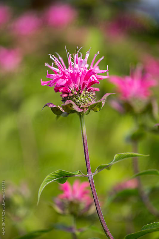 Bee Balm by ALAN SHAPIRO for Stocksy United