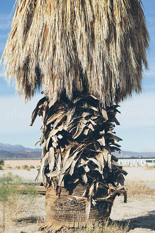 Palm tree in Mojave Desert, near Surprise Valley, CA by Paul Edmondson for Stocksy United