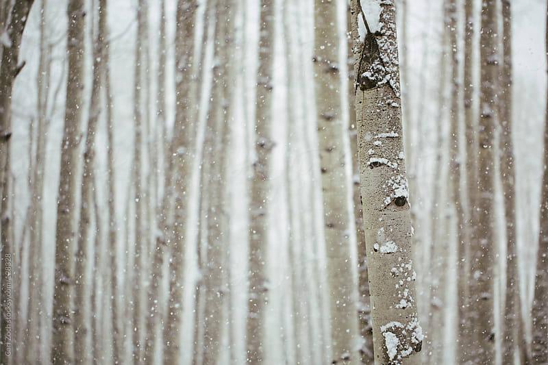 Winter Aspen Trees by Carl Zoch for Stocksy United