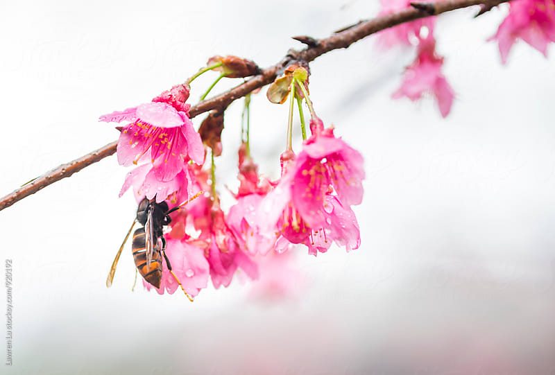Wasp resting on Taiwan Cherry and sucking in bud by Lawren Lu for Stocksy United