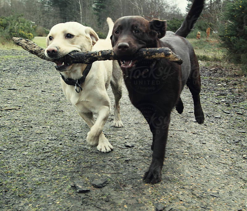 Playful labradors. by kkgas for Stocksy United