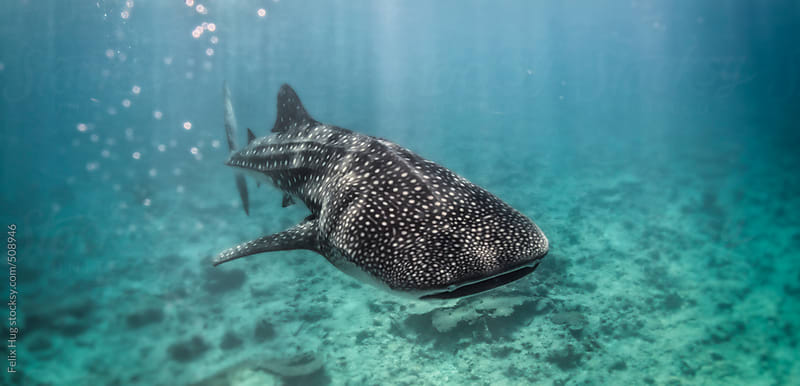 Whale Shark by Felix Hug for Stocksy United
