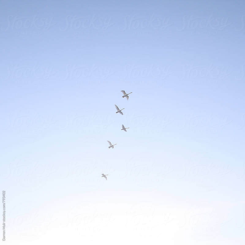 Five swans in flight against a cloudless blue sky. by Darren Muir for Stocksy United