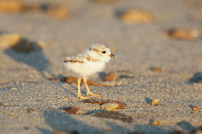 Plover Chick by Paul Tessier for Stocksy United
