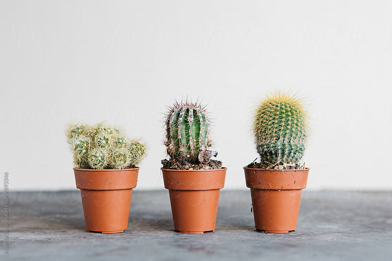 Different potted cacti by Alberto Bogo for Stocksy United