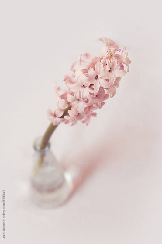 Pink hyacinth in a vase on a pink background by Lea Csontos for Stocksy United