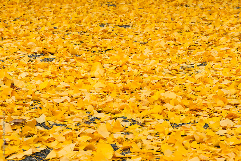 Golden ginkgo leaves fallen on ground by Lawren Lu for Stocksy United