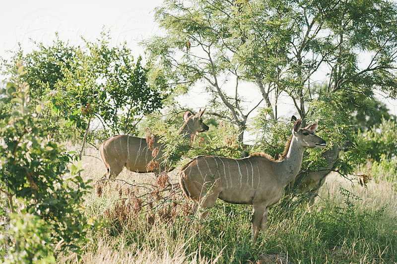 Kudu by Bruce Meissner for Stocksy United