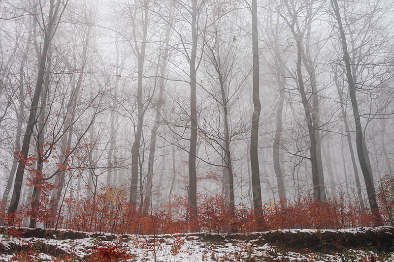 Forest in winter. Read leaves and trees in the fog by Dimitrije Tanaskovic for Stocksy United