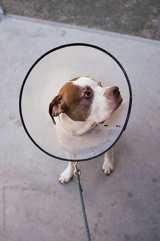 Dog outside with cone on neck. by Lucas Saugen for Stocksy United