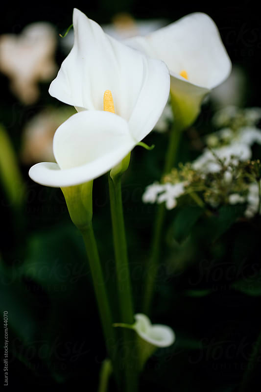 Calla lilies bouquet by Laura Stolfi for Stocksy United