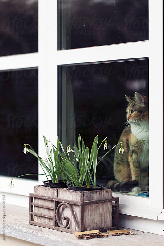 Indoor cat sitting on windowsill and looking through the window seen from outdoor by Laura Stolfi for Stocksy United