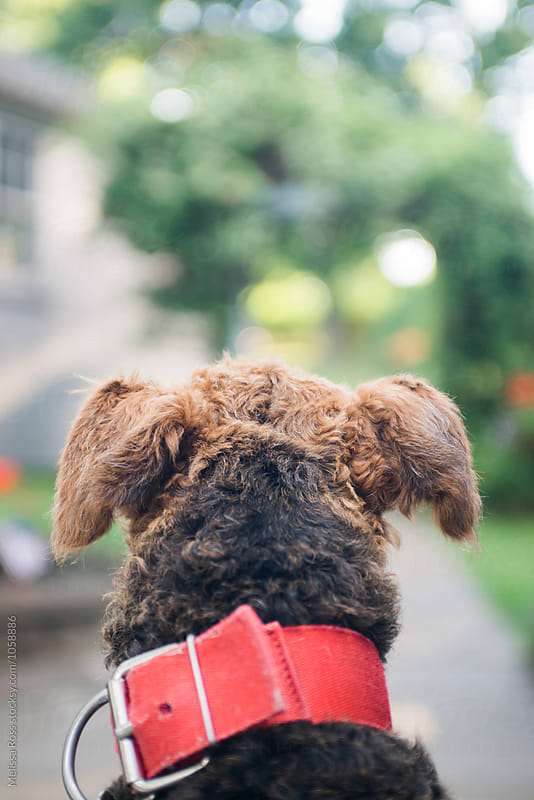 Dog ready to go for a walk. by Melissa Ross for Stocksy United