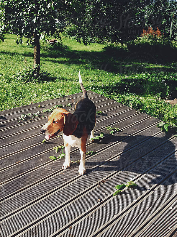 Beagle outdoors by Liubov Burakova for Stocksy United