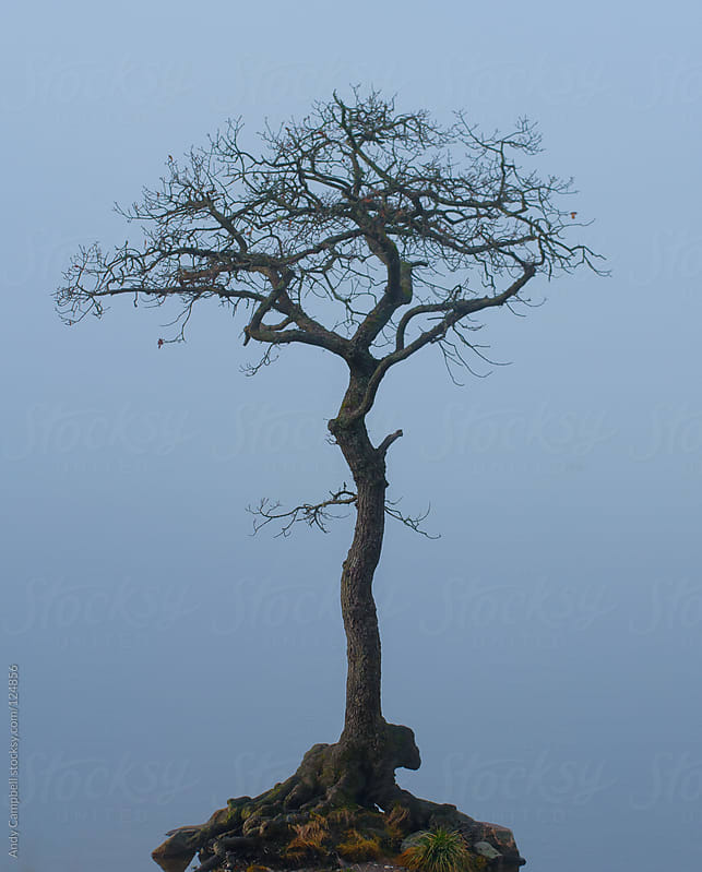 A lone knotted tree isolated by a foggy lake in winter by Andy Campbell for Stocksy United