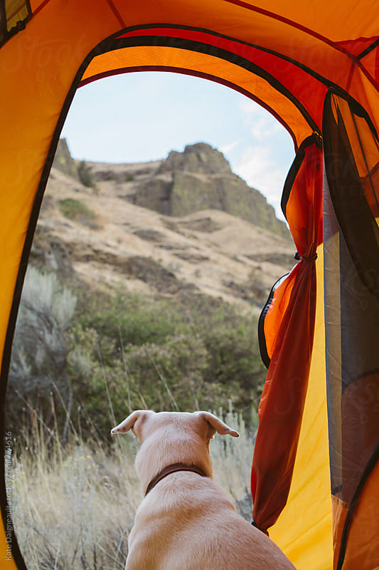 White dog looks out at hillside from inside tent. by Kate Daigneault for Stocksy United