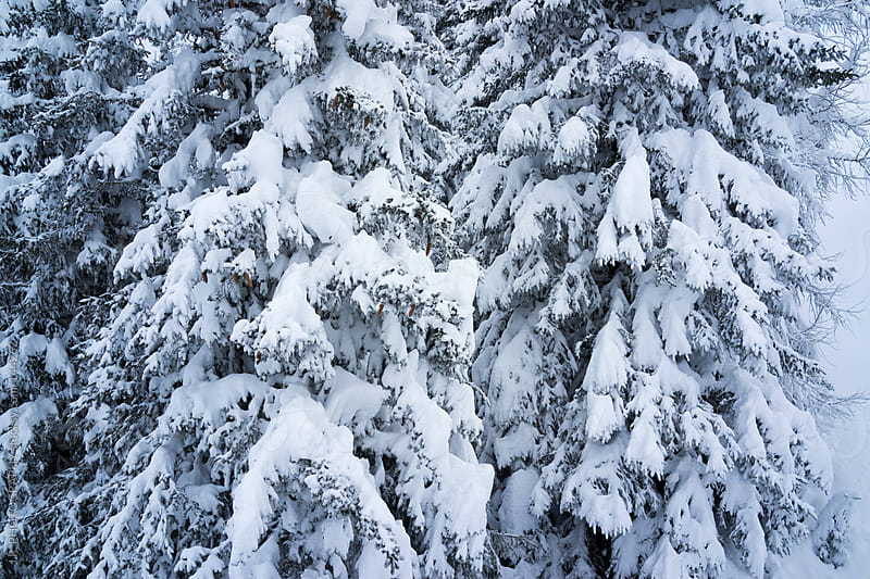 Pine tree forest covered with snow by J.R. PHOTOGRAPHY for Stocksy United