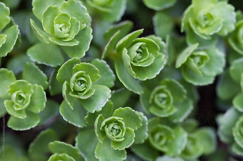 Macro of green sedum plant leaves by Kerry Murphy for Stocksy United