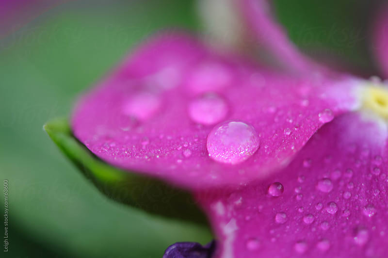 Water Droplets on a Pink Petal by Leigh Love for Stocksy United