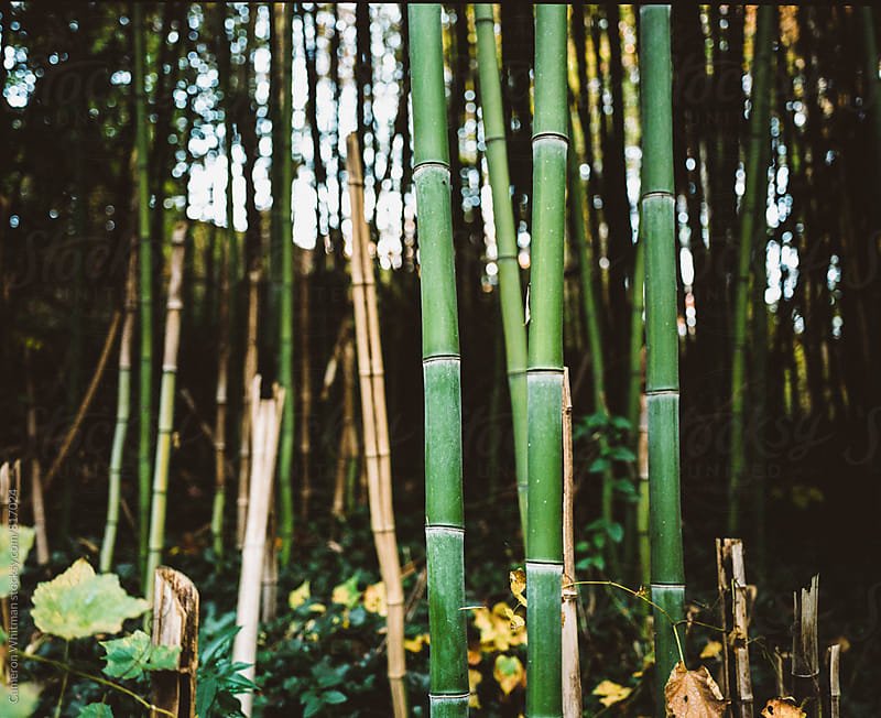 Bamboo Shoots by Cameron Whitman for Stocksy United