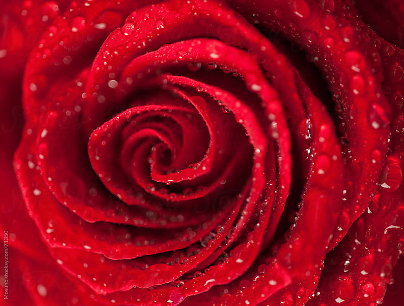 Close Up of a Red Rose Covered in Dew Drops by Mosuno for Stocksy United