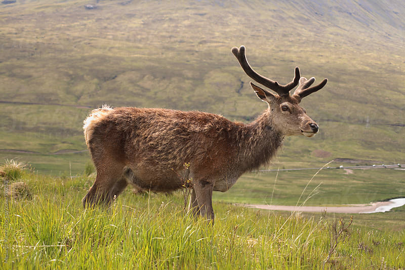 Red deer in the Scottish Highlands  by Melanie Kintz for Stocksy United