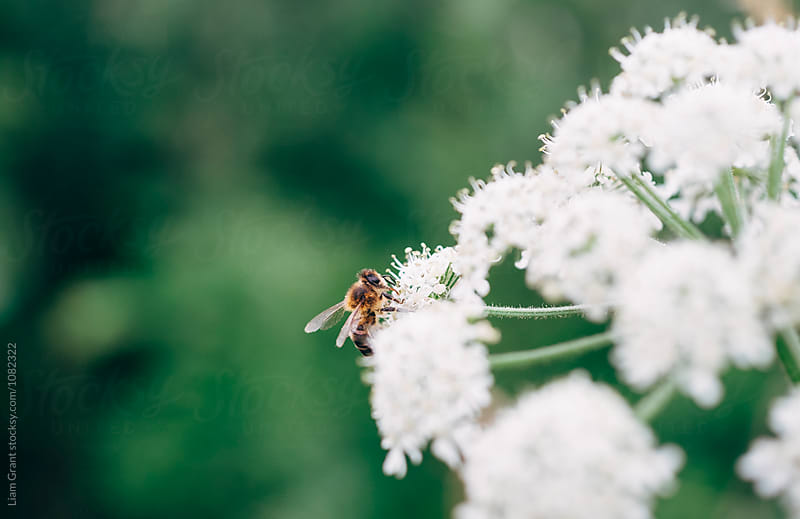 Bee on Ground Elder flowers. Norfolk, UK. by Liam Grant for Stocksy United