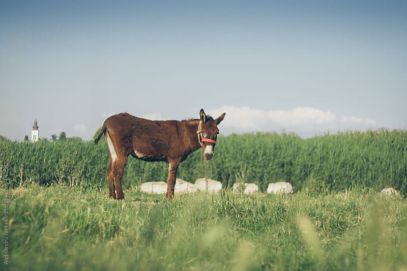 A donkey in the  meadow by Aleksandra Jankovic for Stocksy United