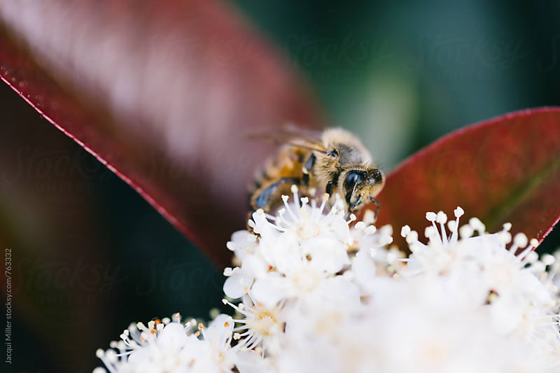 Honey Bee collecting pollen from white flowers by Jacqui Miller for Stocksy United