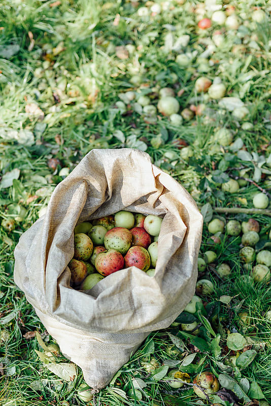 Sack full of apples on a meadow by Ina Peters for Stocksy United
