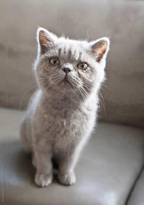 Kitten Portrait by Jill Chen for Stocksy United