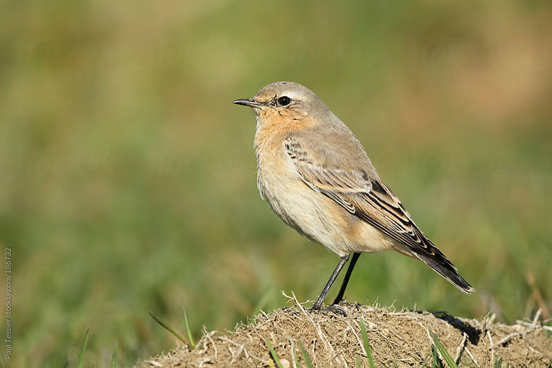 Northern Wheatear by Paul Tessier for Stocksy United