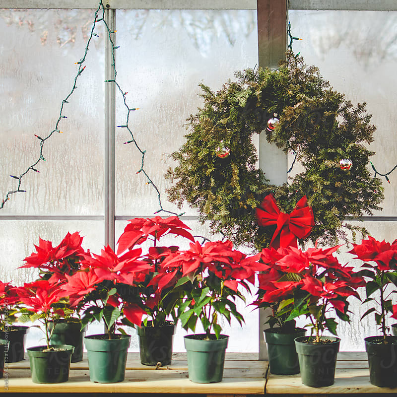 Wreath and poinsettias inside conservatory by Lindsay Crandall for Stocksy United
