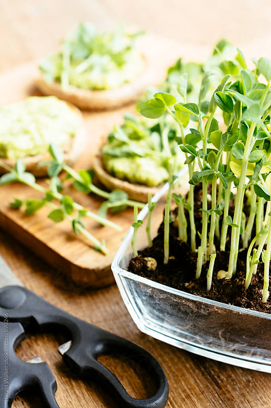 Muffins with an avocado/fava bean mash and pea sprouts by Harald Walker for Stocksy United