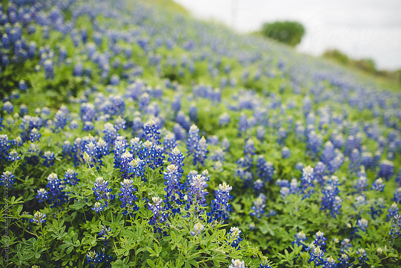 Texas Bluebonnets by Courtney Rust for Stocksy United