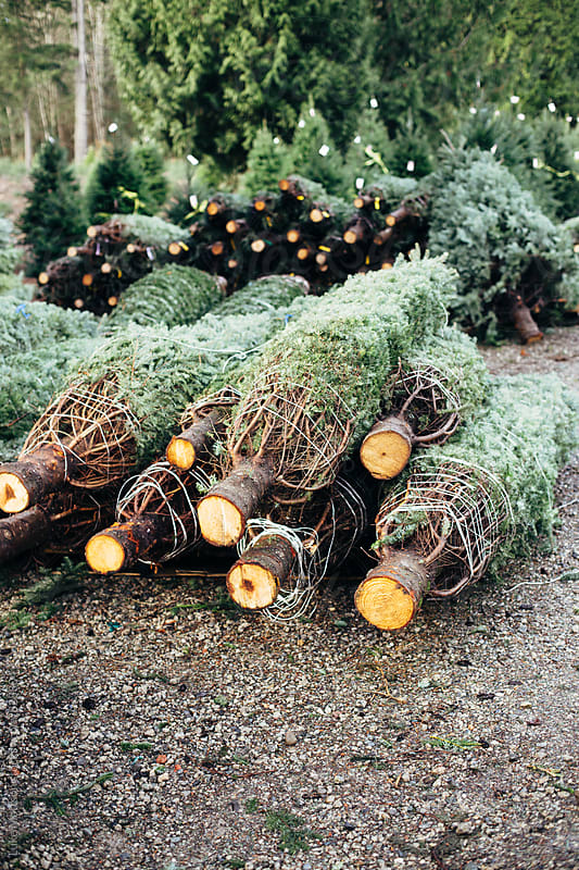 Various Pre-Cut Christmas Trees For Sale Wrapped In Nets by Luke Mattson for Stocksy United