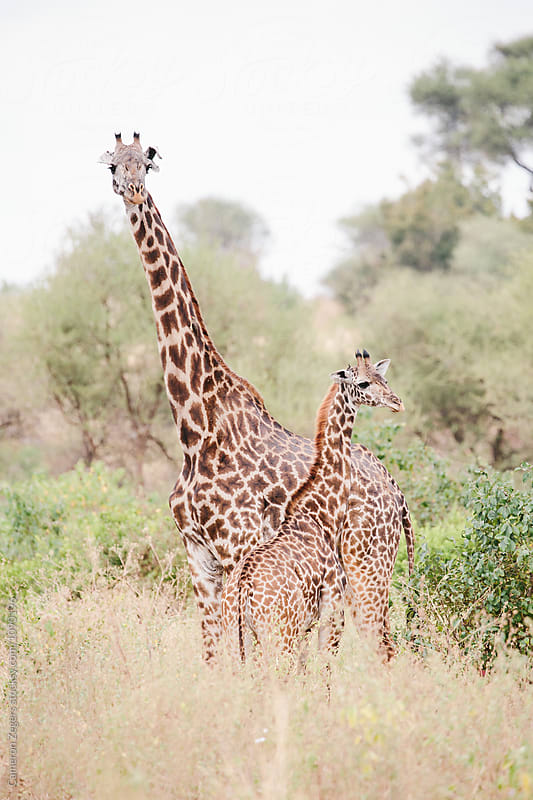 mother and baby giraffe standing by Cameron Zegers for Stocksy United