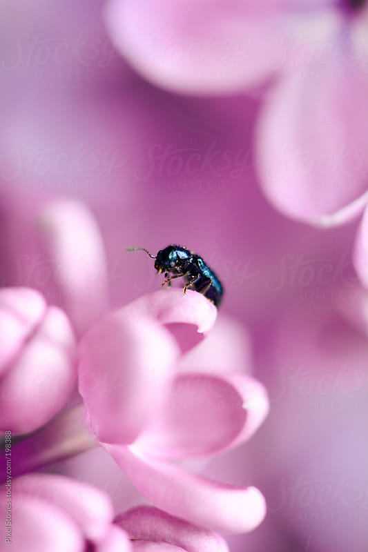 Cute bug on lilac by Pixel Stories for Stocksy United