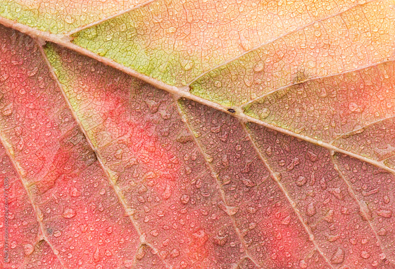 Raindrops on  Snakebark maple leaf in Autumn, closeup by Mark Windom for Stocksy United