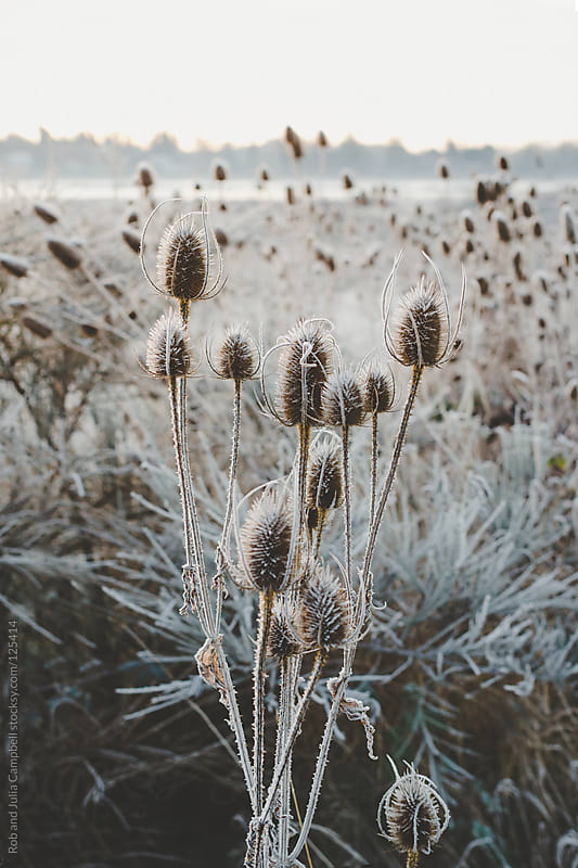 Frosted winter plants at sunrise by Rob and Julia Campbell for Stocksy United