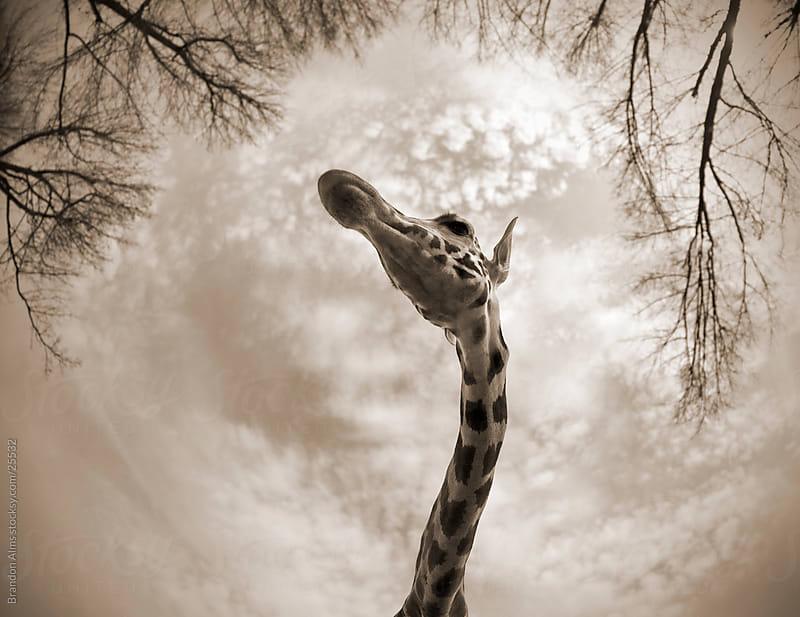 Giraffe Closeup Taken  with a Fisheye Lens by Brandon Alms for Stocksy United